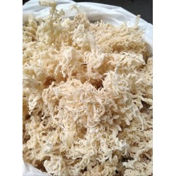 Cottonii (Irish Moss)
